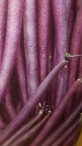 Haricot Violette Très Productives 25 Graines Seeds