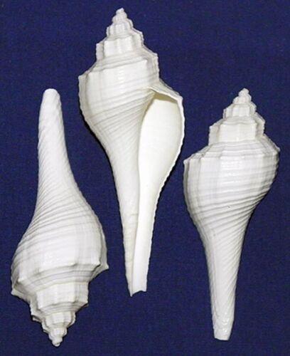 "2 Shells 3-1//2/""-4-1//2/"" White Fusus Conch Seashells Hemifusus Ternatanus"