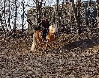 Haflinger, hingst, 14 år