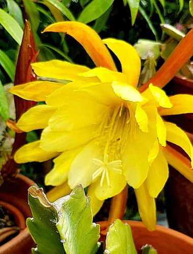 """riesen gelbe Blüte Kaktus /""""Disocactus/"""" sehr rar sogar Früchte Blattkaktus"""