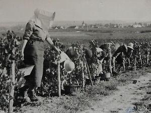 Photographie-Henri-Gros-Dijon-Bourgogne-Vin-Vigne-Vendanges-annees-1930-40-n-68