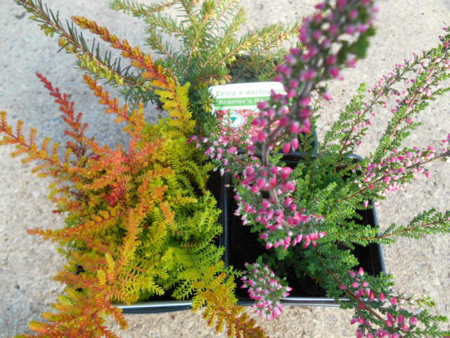 3 x Hardy Heathers cottage garden perennial  .
