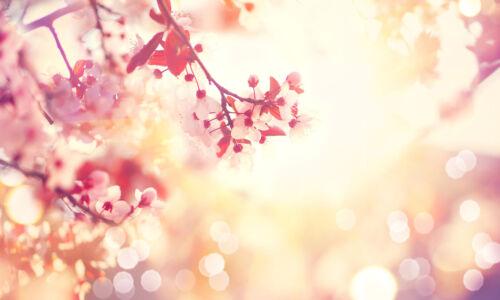 Verre Splashback Cuisine Carrelage Cuisinière Panneau Toute Taille Cerisier Fleurs 0475
