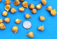 Gourmet Elephant Garlic SEEDS:100 BULBILS (Corms, Korms, Bulblets) KY grown 2016