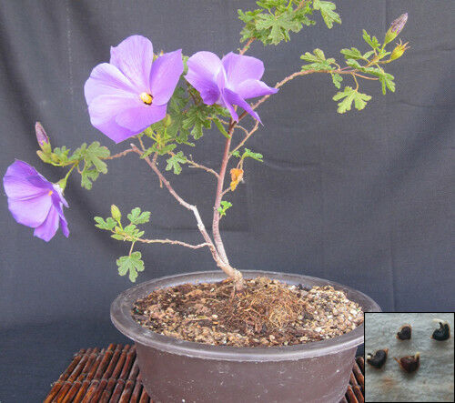 Anisodontea Scabrosa Hairy Mallow Miniature Hibiscus Bonsai Tree For Sale Online Ebay