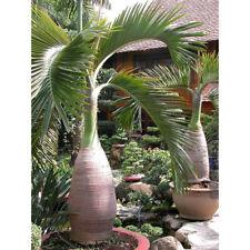 50pcs Bottle Palm Tree Seeds Exotic Plants Bonsai Tree Tropical Ornamental Fresh 50