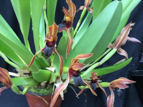 Maxillaria praestans Orchidee Naturform Species blühstark getopft