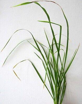 Toller Duft: Vanillegras (Hierochloe odorata), Ziergras, Mariengras, 10 Samen