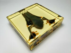 RHACOPHORUS-REINWARDTII-Real-frog-immortalized-in-resin