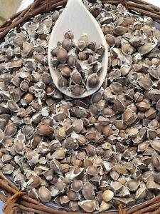 130-x-Moringa-Oleifera-Seeds-Finest-Organic-Quality-HAND-SELECTED-NON-GMO-herb