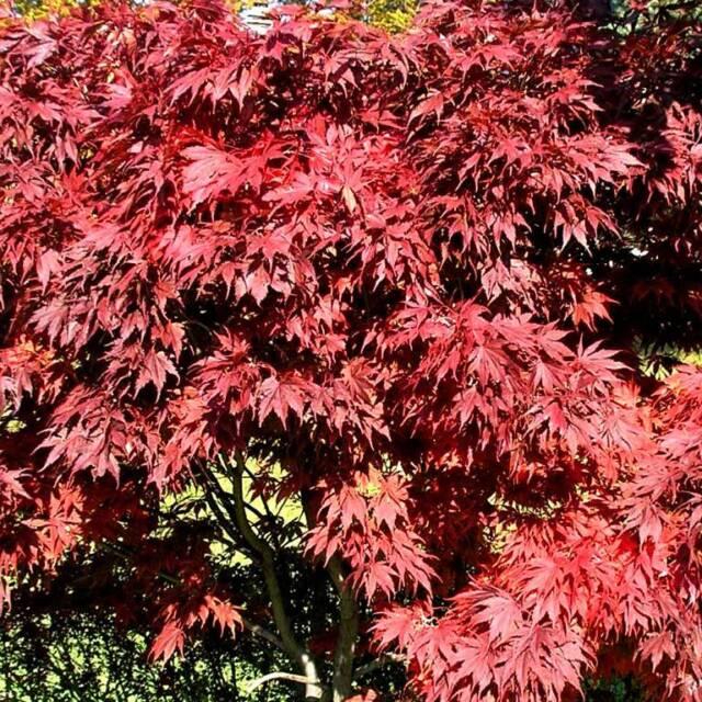 Acer palmatum Atropurpureum Roter Fächer Ahorn ..24