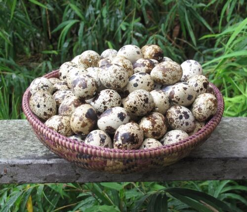 Ready to ship 100 Blown (Empty) Quail Eggs 1 Hole from Happy Free Range Quails