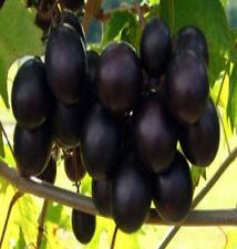 5 Black Muscadine Grape Seeds JELLY OR FRESH GRAPES