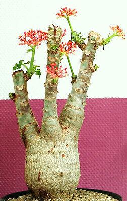 JATROPHA PODAGRICA rare caudex succulent bonsai buddha belly plant seed -5 SEEDS