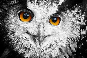 Framed Print Full Face Owl Black White With Orange Eyes Picture