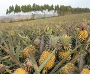 100pcs-Seeds-Sweet-Pineapple-Fruit-Dwarf-Trees-Home-Gardening-Outdoors-Planting