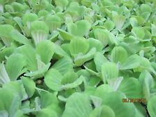 30 Water Lettuce Organic 3 inches Pond Plants Grow to be 8 in