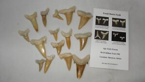 Fossil-sharks-tooth-Fossil-mix-lot-before-Megalodon-x-15-039-B-039-Grade-teeth
