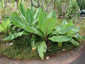 2-Semillas-Musa-Ensete-Ventricosa-R-Bananas