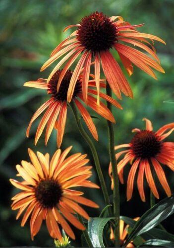 Echinacea Orange meadowbrite échinacée graines!
