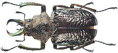 - Male 25~35mm ....!! Batus barbicornis E.Peru Border to Brazil Insect