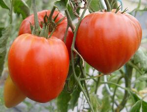 25 graines de tomate coeur de boeuf m thode bio seeds plante l gumes ancien ebay. Black Bedroom Furniture Sets. Home Design Ideas