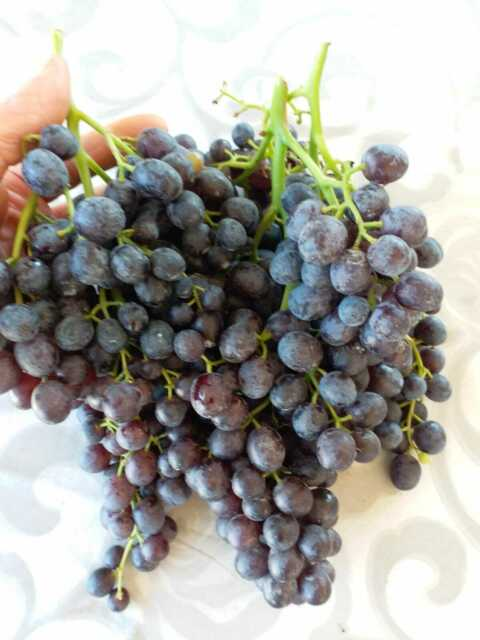 3 pieces GOLD FINGER grape cuttings