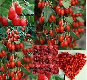 GOJI-Berry-50-seeds-Unusual-healthy-food-garden