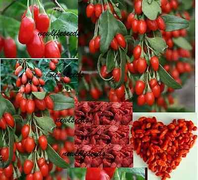 GOJI  Berry 50 seeds Unusual healthy food garden