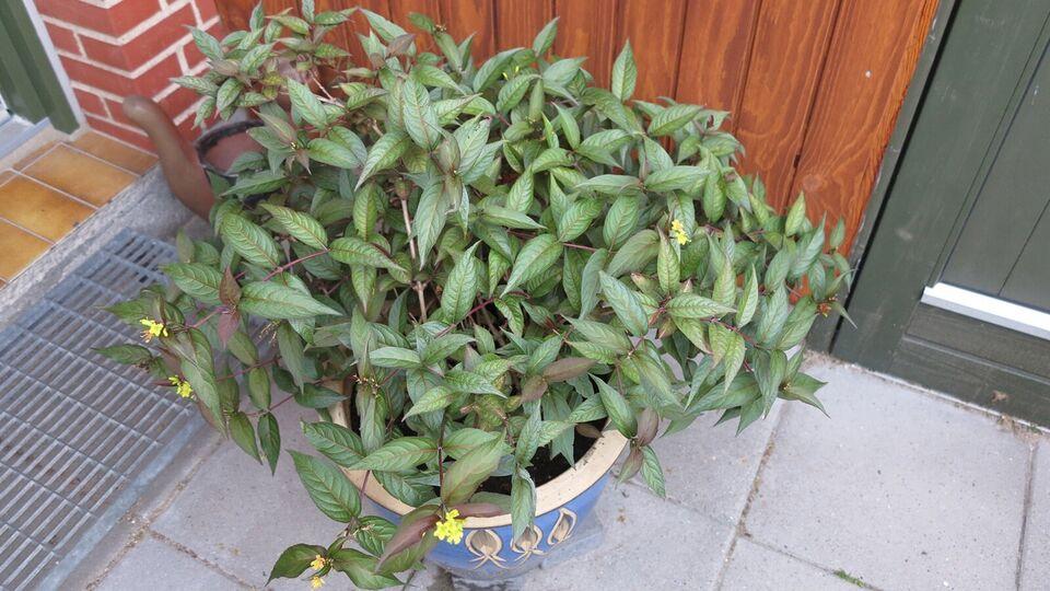 busk, Løvfældende