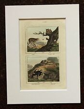Impresión de color mano montado Buffon Antiguo c.1800 - grabado-Loris-Murciélagos