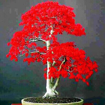 Japanese Red Maple Seeds Bonsai Tree Japanese Maple Bonsai