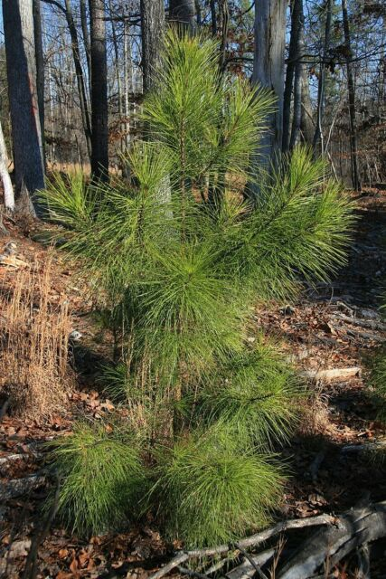 Pinus taeda LOBLOLLY PINE TREE Seeds!
