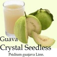 ~CRYSTAL SEEDLESS GUAVA~ YUMMY Fruit Tree WHITE FLESH Live Potted Starter Plant