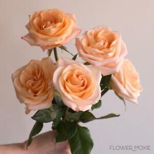 Rose Tiffany 3 cuttings