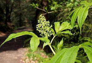 25-Traubenholunder-Holunder-Sambucus-racemosa-50-80-cm-wurzelnackt