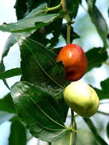 ziziphus mauritiana fruit tree seeds ebay