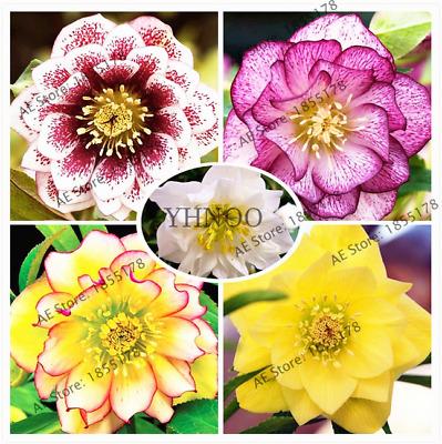 Helleborus Niger Flower Seed Novelty Plant 100 Pcs Hellebore Christmas Rose