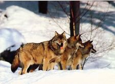 Ansichtskarte: drei Wölfe im Schnee - wolves in the snow - canis lupus