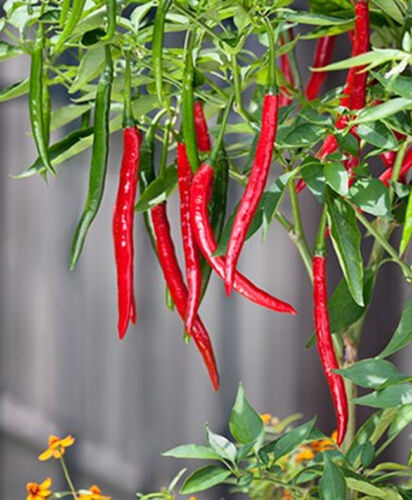 Ring O Fire Chilli Pepper Very HOT 10 seeds