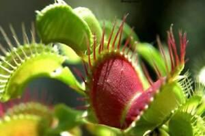 Dionaea Muscipula Venus Flytrap - Pianta Carnivora, 25 Semi Spedizione Gratis Mbwdmmbo-10035751-761093191