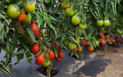 Tomato RED PEAR seeds red tomatoes organic seeds Ukraine 1g Farmer/'s dream