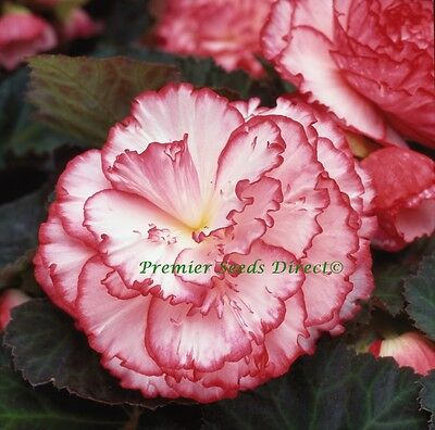 FLOWER BEGONIA NON STOP ROSE PETTICOAT F1 15 PELLETS