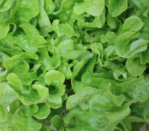 LETTUCE Oakleaf Green 100 Seeds HEIRLOOM vegetable garden ALL SEASON green salad