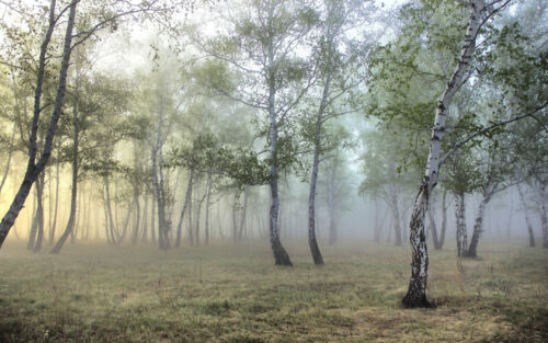 photo poster bois scenic nature Large encadrée imprimer-misty birch tree forest