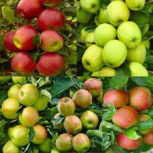 Pink Lady Fuji Gala Honey Crisp Golden Delicious Apple