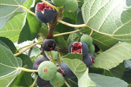 Fig Tree Seeds Extra Rare Sweet Figs 3 Varieties 25+25+25 Top Quality Seeds