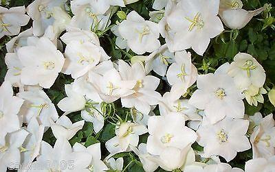 weisse  Pfirsichblättrige Glockenblume, Campanula persicifolia  ab 1,95€