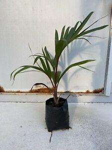 Bottle-Palm-Tree-Hyopherbe-lagenicaulis-Beautiful-Tropical-Specimen