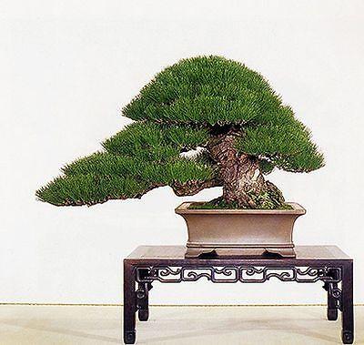 BLACK PINE BONSAI SEED KIT, GROW YOUR OWN BONSAI TREES